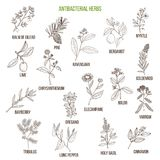 Best antibacterial herbs. Hand drawn vector set of medicinal plants Royalty Free Stock Photography