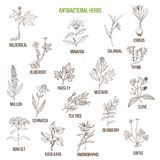 Best antibacterial herbs. Hand drawn vector set of medicinal plants Royalty Free Stock Image