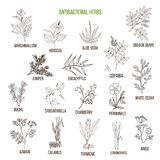 Best antibacterial herbs. Hand drawn vector set of medicinal plants Royalty Free Stock Photos