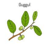 Best Ayurvedic plant guggul Commiphora wightii , or Indian bdellium-tree, Mukul myrrh tree Stock Photos