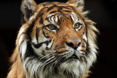 Best Of The Big Cats. A critically endangered Sumatran Tiger against a black background Royalty Free Stock Photography