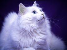 Best of Breed Cat. Blue Eyed Cat - White Turkish Angora royalty free stock images