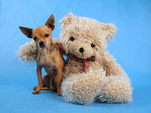 Best buddies. A teddy bear with his arm around a tiny chihuahua Royalty Free Stock Photo