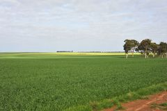 Best crop of Wheat, in Dalwallinu, for Years, Western Australia. stock photography