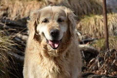 The best dog, adult golden retriever royalty free stock photos