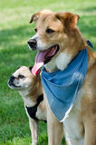 dogs in bandanas  Stock Photos