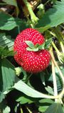 Strawberry. The best flower for summer red Stock Photo