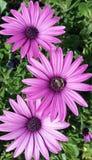 Best flowers. Nature bellevue fleur mauve abeilles Royalty Free Stock Images