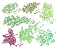 Best Fragrant Herbs for Your Garden vector sketch Stock Photography