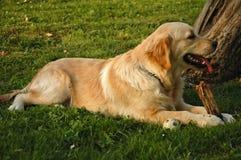 Best friend 3. Golden retriever in the grass stock photo