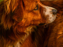 Best friend. Beautiful devoted dog looking in a distance . Very warm image Royalty Free Stock Photography