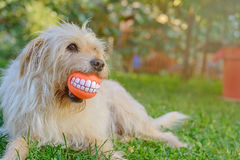 Best friend dog. With cheerful ball Stock Images