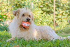 Best friend dog. With cheerful ball Royalty Free Stock Image