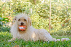Best friend dog. With cheerful ball Royalty Free Stock Photo