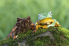 Best friend frog. Javan gliding tree frog and horned frog Stock Photo