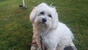 Beatiful nice maltese dog Luna my big love. The best friend Luna maltese dog royalty free stock photography