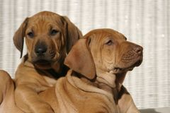 Best Friends. Rhodesian Ridge-back puppies cuddle each other in the sun Stock Photo