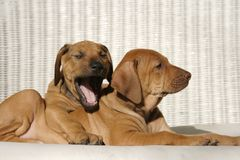 Best Friends 2. Rhodesian Ridge-back puppies cuddle each other in the sun. One is ready for a nap Stock Photography