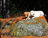 Best friends. A pair of labs rest on a rock enjoying the warm sun shining on their coats with the shade near by Royalty Free Stock Photography