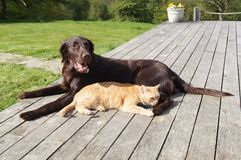 Best Friends. Flat-coated retriever dog laying relaxed with ginger cat laying next to her Royalty Free Stock Photography