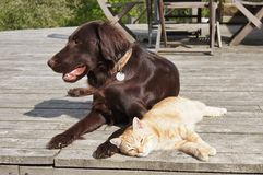 Best Friends. Flat-coated retriever dog laying relaxed with ginger cat laying next to her Stock Photo