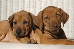 Best Friends 3. Rhodesian Ridge-back puppies cuddle each other in the sun. One is ready for a nap Royalty Free Stock Image