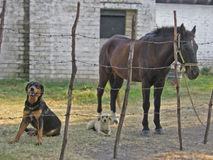 Best Friends. Two Dogs and a Horse Chill Out Stock Photography