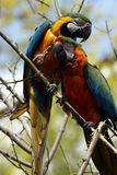 Best Of Friends. Two Macaws perching in tree and staring at the camera.  Shallow depth of field with trees in the background Stock Photos