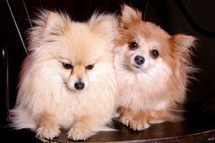 Best Friends. Two Full-bred Miniature Pomeranian Dogs, Full grown royalty free stock image