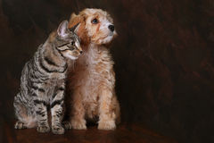 Best friends. Adorable cavapoo puppy with Tabby kitten stock photo