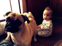 Best friends. Baby and pug pals Stock Photography