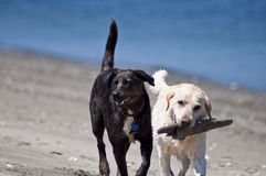 Best Friends on Beach. Two canine friends playing with a stick together at the beach along the ocean shore on a beautiful sunny day Royalty Free Stock Photography