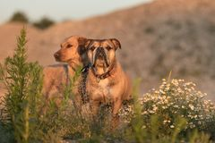 Best friends Continental Bulldog and Labrador dog royalty free stock photos