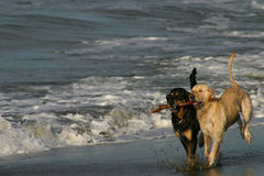 Best Friends Dogs Playing on a Beach. Two dogs playing with a stick on a black sand beach in Puerto Viejo, Costa Rica Royalty Free Stock Photos