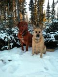 Best friends. A dogue de bordeaux and his best friend enjoying winter snow Stock Photo