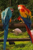 Best friends forever. Two macaws hand in hand Stock Images