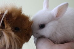 Best friends - guinea pig and a rabbit Stock Photos