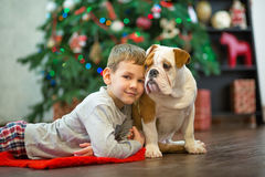 Best friends handsome blond boy and puppy red white english bulldog enjoying spending time with each other close to Christmas tree Royalty Free Stock Image
