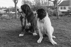 Best friends on the lawn - back and white. An adult male Bernese Mountaindog and a female Landseer European Continental Type (ECT) pup sitting on the lawn Stock Photography