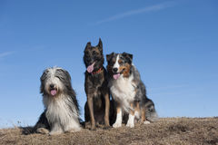 Best friends. Three dog friends sitting on top of the mountain. They are together forever Stock Photos