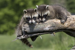 Best friends. Two baby raccoons exploring the work together on log Royalty Free Stock Photo