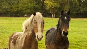 Best Friends, two ponies. Royalty Free Stock Images