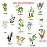 Best garden herbs for better digestion Royalty Free Stock Photo