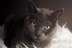 Best grey cat stock photography