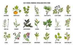 Best herbal remedies for bladder infections. Hand drawn vector set of medicinal plants Royalty Free Stock Image