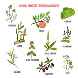 Best herbal remedies for morning sickness. Hand drawn vector set of medicinal plants Royalty Free Stock Images