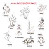 Best herbal remedies for morning sickness. Hand drawn vector set of medicinal plants Royalty Free Stock Photography