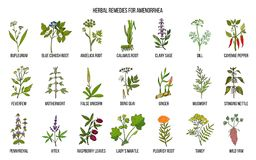 Best herbal remedies to treat amenorrhea. Hand drawn vector set of medicinal plants Royalty Free Stock Photo