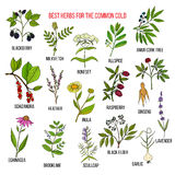Best herbs for common cold Royalty Free Stock Photography
