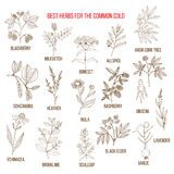 Best herbs for common cold. Vector illustration Royalty Free Stock Images